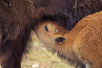 American bison cow with nursing calf (Bison bison), Western U.S., June.