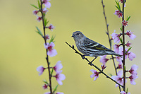 Pine Siskin (Carduelis pinus), adult perched on blooming Peach tree (Prunus persica), Hill Country, Central Texas, USA