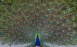 "Pictured: A peacock shows off its tail feathers in a show of brilliance at the Palácio de Cristal Gardens, Portugal.<br /> <br /> Photographer Carlos Alberto Oliveira Costa, from Porto in Portugal, said: ""The peacock was about to open up it's feathers when I first saw it and that was a chance I couldn't miss!""<br /> <br /> ""I think that the colours and composition make this a strong picture.""<br /> <br /> Please byline: Carlos Alberto Oliveira Costa/Solent News<br /> <br /> © Carlos Alberto Oliveira Costa/Solent News & Photo Agency<br /> UK +44 (0) 2380 458800"