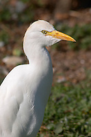cattle egret bubulcus ibis ctre cigognes loutres hunawihr alsace france