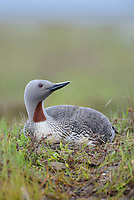 Red-throated Loon (Gavia stellata) incubating its eggs on the nest. Yukon Delta National Wildlife Refuge, Alaska. July.
