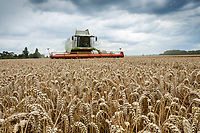 Harvesting wheat just before rain - Lincolnshire, August