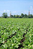 Sugar beet crop almost meeting in the row - Lincolnshire, June