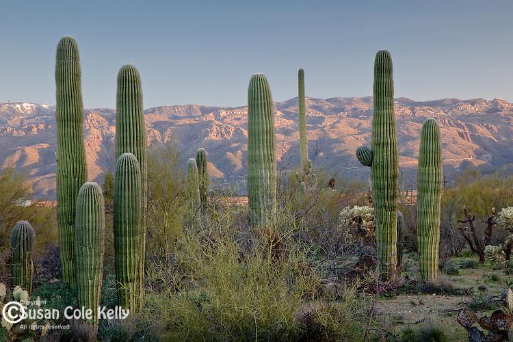 The Sonoran Desert in Saguaro National Park - Rincon Mountain District, Tucson, AZ, USA