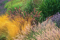 Pennisetm setaceum 'Rubrum', with P. orientale, Stipa tenuissima and lavender in California garden