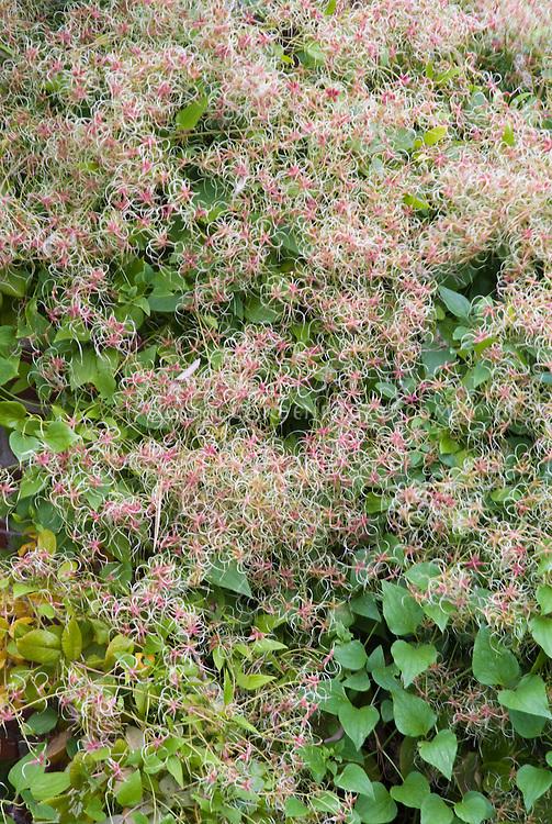 Clematis terniflora (paniculata)  in autumn heads vine