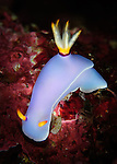 Bullock's hypselodoris: Hypselodoris bullockii, on coral, Solomon Islands