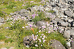Armeria maritima, sea thrift, in flower, Lowland Point, Lizard Peninsula, Cornwall, England, UK