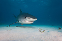 This tiger shark, Galeocerdo cuvier, was attracted with bait to be photograhed, Bahamas, Caribbean, Atlantic Ocean