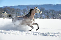 This is Allegra, an Arabian mare who greatly loved running through this twenty inches of deep, fresh snow the morning after it fell. She went round and round the paddock circling me closely in the sunshine, enjoying herself making the powder snow smoke fly like a school kid on a snow day! She's showing her stuff running right by the camera at a full gallop, living up to her name. She kept her eye on me the whole way through our shoot on every pass.<br />
