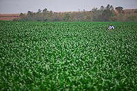 Inhauma_MG, Brasil...Gestao no campo na Fazenda Sao Joao em Inhauma, Minas Gerais. Na foto plantacao de milho...Field management in the Sao Joao Farm in Inhauma, Minas Gerais. In this photo a cornfield. ..Foto: JOAO MARCOS ROSA / NITRO..