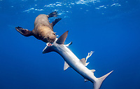 Cape fur seal, Arctocephalus pussilus, feeding on blue shark which it caught and killed, Prionace glauca, Cape Point, Cape Town, South Africa