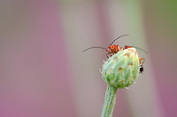 Common Red Soldier Beetles {Rhagonycha fulva} mating on a Corn Flower Bud