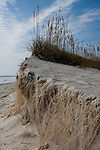 Folly Beach Sand Dune Erosion with Roots exposed and new Sea Oats growing on top, south carolina
