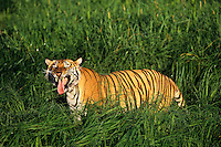 Bengal Tiger (Panthera tigris tigris) flehmen behavior.