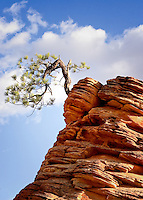 A lone tree amidst the rocky canyons of Zion National Park.