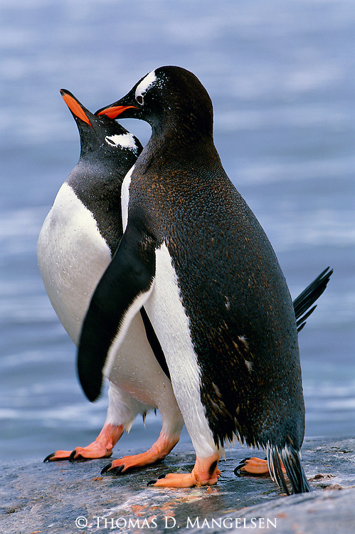 Gentoo penguins reinforce their pair bond on Cuverville Island, Antarctic Peninsula.