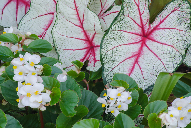 Caladium leaves and Begonia blossoms create a wonderful contrast in a border in a garden at the Morton Arboretum in DuPage County, Illinois