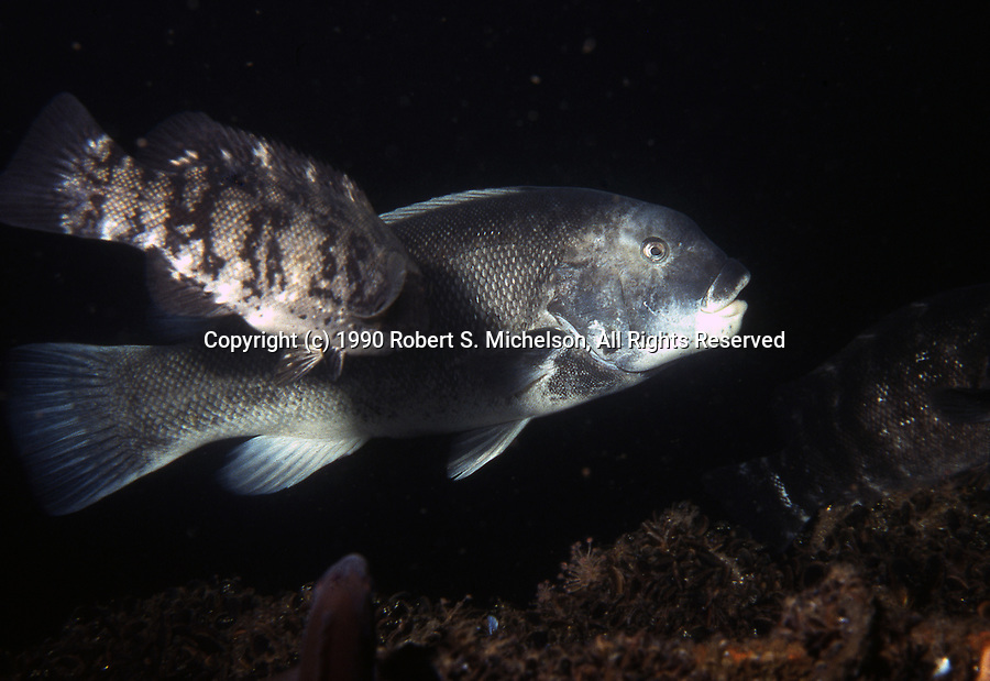 Tautog audult right and juvenile left with vertical bars
