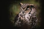 Great horned owl, Washington