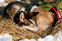 Close up of a sled dog sleeping in a cozy bed of straw at the halfway checkpoint of Cripple during the 2010 Iditarod in Interior Alaska
