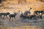 Spotted Hyena, Wild Dog, Kwando, Botswana