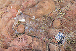 Dead Steenbok and Camera Trap
