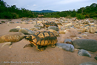Yellow-footed Tortoises (Chelonoidis denticulata), pair on riverbank, lowland tropical rainforest along Alto Madidi River, Madidi National Park, Bolivia.