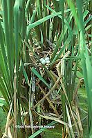 00699-001.12 (TF) Least Bittern (Ixobrychus exilis) nest with eggs Mermet Lake State Fish & Wildlife Area   IL