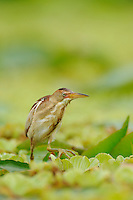 Least Bittern (Ixobrychus exilis), adult walking on water lettuce, Fennessey Ranch, Refugio, Coastal Bend, Texas Coast, USA