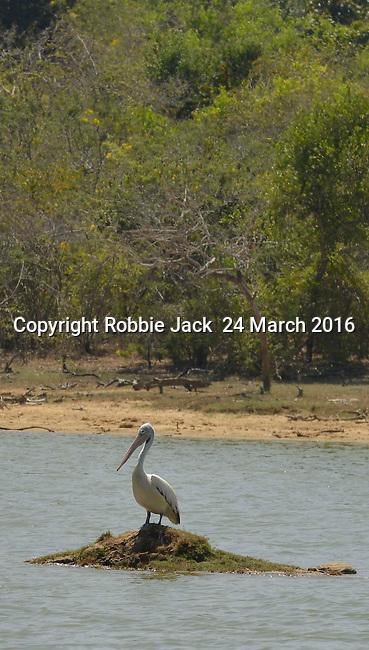 Yala National Park Sri Lanka<br /> Spot Billed Pelican