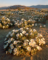 Sunrise light on a field of Evening Primrose (Oenothera sp.) on sand dunes; Anza Borrego Desert State Park, CA