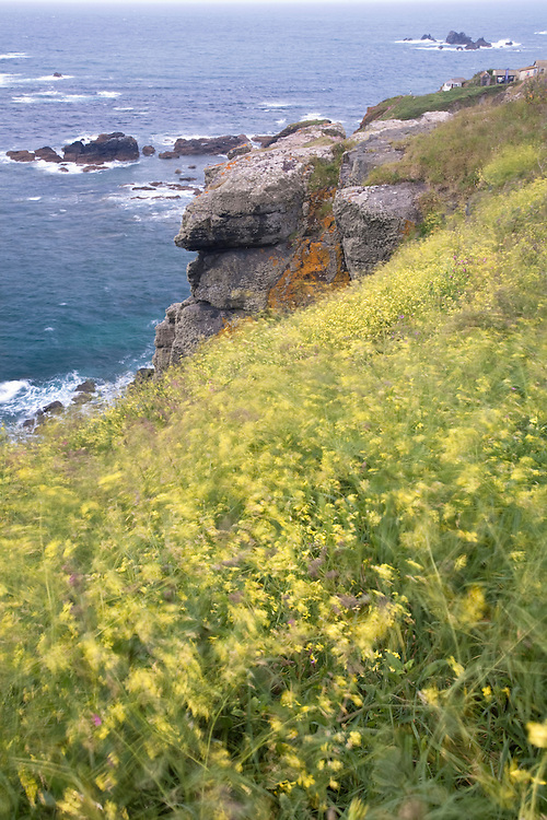 Black Mustard - Brassica nigra blowing in the wind on the cliffs below Lizard Lighthouse, Cornwall