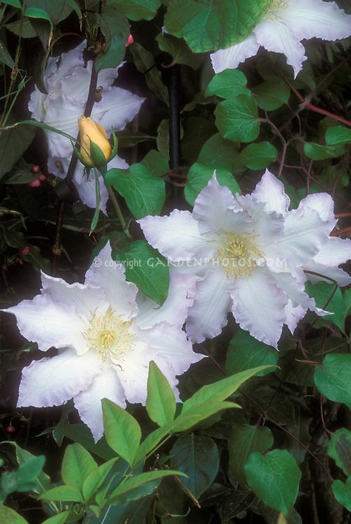 Clematis Gillian Blades climbing vine in flower