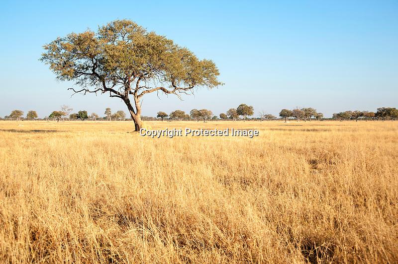 Leadwood Tree in the Savanna of Hwange National Park in Zimbabwe