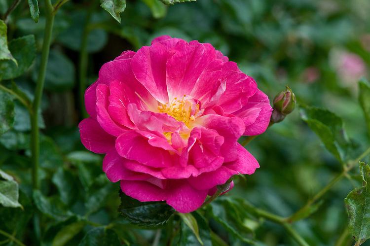 Rosa 'Alexandre Girault', mid June.