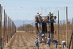 Yakima, Hops, Yakima Valley, migrant workers in hop fields, Eastern Washington, Yakima County, Washington State, Pacific Northwest, United States,