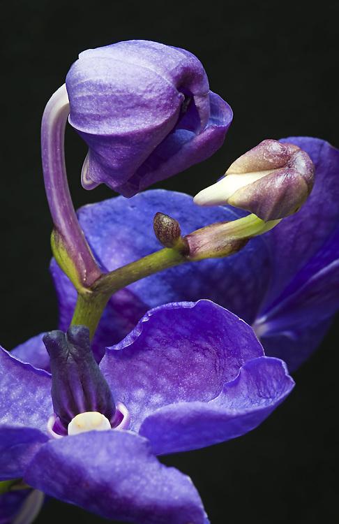 Vanda Orchid, Vanda coerulea