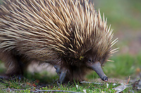 Short-beaked Echidna (Tachyglossus aculeatus multiaculeatus) foraging at the Flinders Chase National Park on Kangaroo Island, South Australia, Australia.