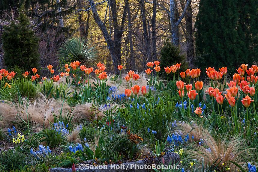 Orange Tulips flowering in The Gravel Garden at Chanticleer