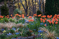 Orange Tulips flowering in The Gravel Garden at Chanticleer