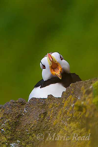 Horned Puffin (Fratercula corniculata), close-up with open bill (yawning) facing camera. St. Paul Island, Pribilofs, Alaska, USA. The rearward-facing spines visible on its palate enable it to carry multiple fish at once.