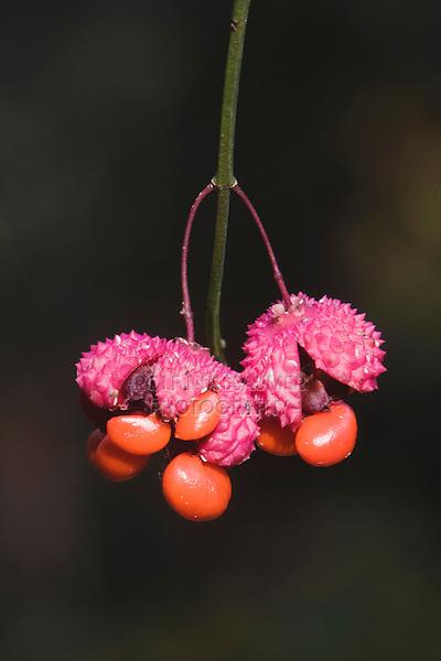 Strawberry-bush (Euonymus americanus), seed pod, Raven Rock State Park, Lillington, North Carolina, USA