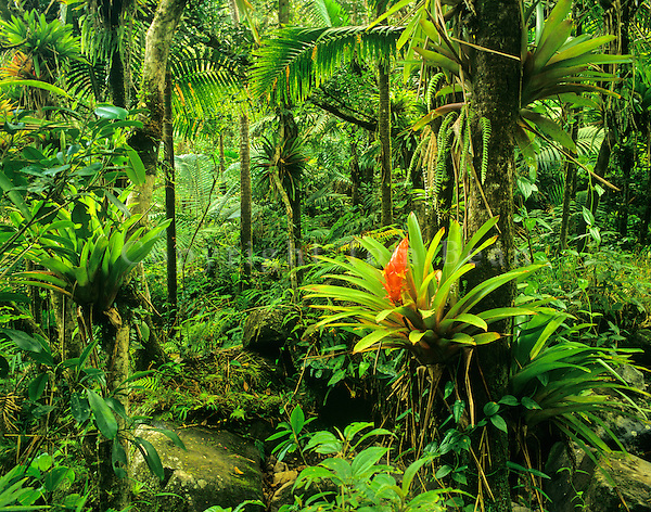 El Yunque Rainforest, bromeliads flowering in forest, Caribbean National Forest, Puerto Rico, AGPix_0230..