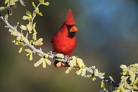 northern cardinal, Cardinalis cardinalis, adult male on blooming blackbrush acacia, Acacia rigidula, Dinero, Lake Corpus Christi, Texas, USA, North America