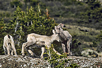 Bighorn sheep lambs playing, June