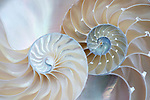 Two halves of a nautilus shell represent two halves of a whole. The Golden Spirals unfold in a beautiful classic Fibonacci algorithm.