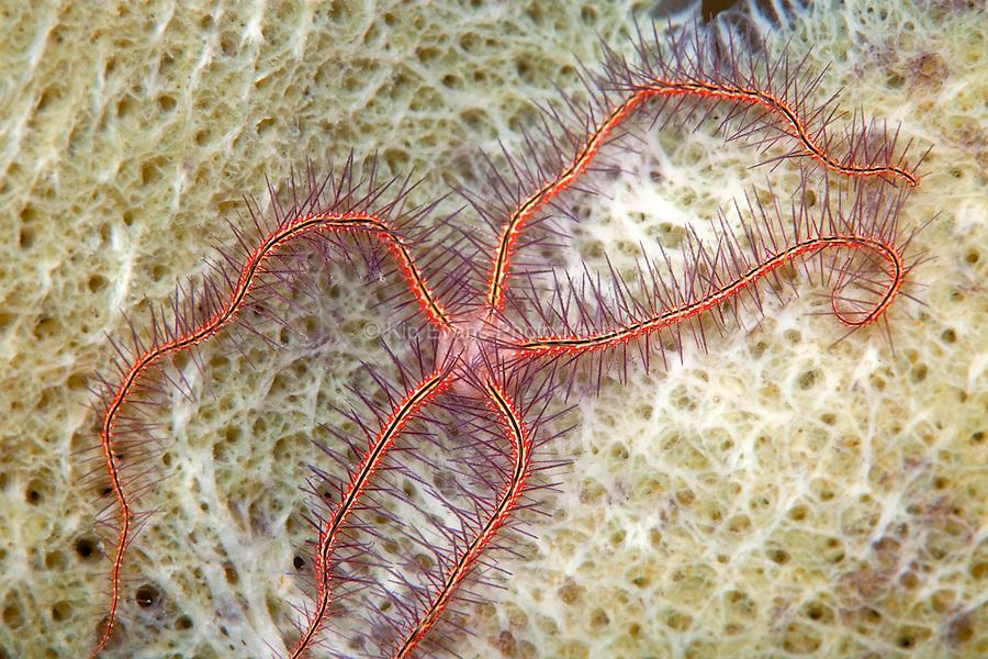 A sponge brittle star (Ophiothrix suensonii). Taken at Roatan, a tropical island off the coast of Honduras.