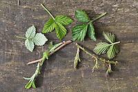 Vergleich Himbeere (links) und Brombeere (rechts). Echte Brombeere, Rubus fruticosus agg., Rubus sectio Rubus, blackberry, bramble. Wilde Himbeere, Rubus idaeus, Raspberry, Rasp-berry