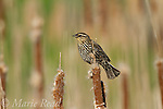 Red-winged Blackbird (Agelaius phoeniceus) female perched on cattail in spring, New York, USA